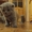 Котята Британской породу ждут своих хозяев #695296