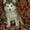 продажа щенков породы аляскинский маламут #790346