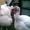 Принимаю заказы на индюшат тяжелый кросс на 2013 год.(бройлеры, белые широкогруды #825606