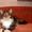 Котят породы майн-кун #967727