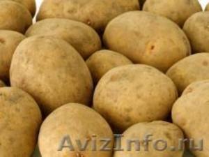 Семенной картофель из Беларуси в Рязани - Изображение #1, Объявление #1496695