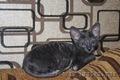 эксклюзивные котята корниш-рекс