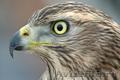 Приму в дар хищную птицу
